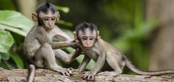 Two small monkeys sitting on a tree branch.